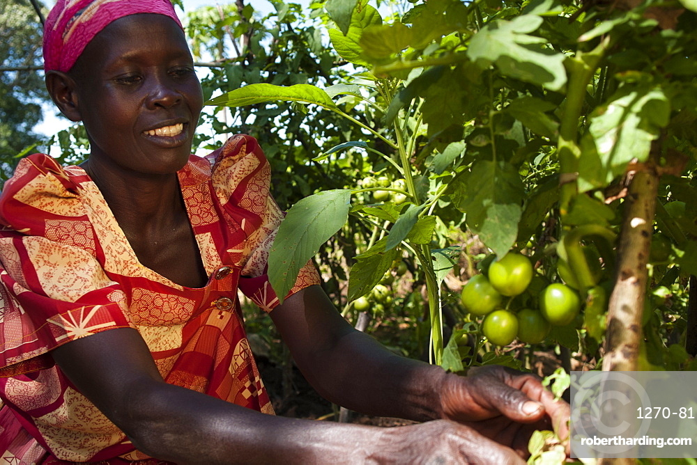 A female farmer looks after her tomato plant, Uganda, Africa