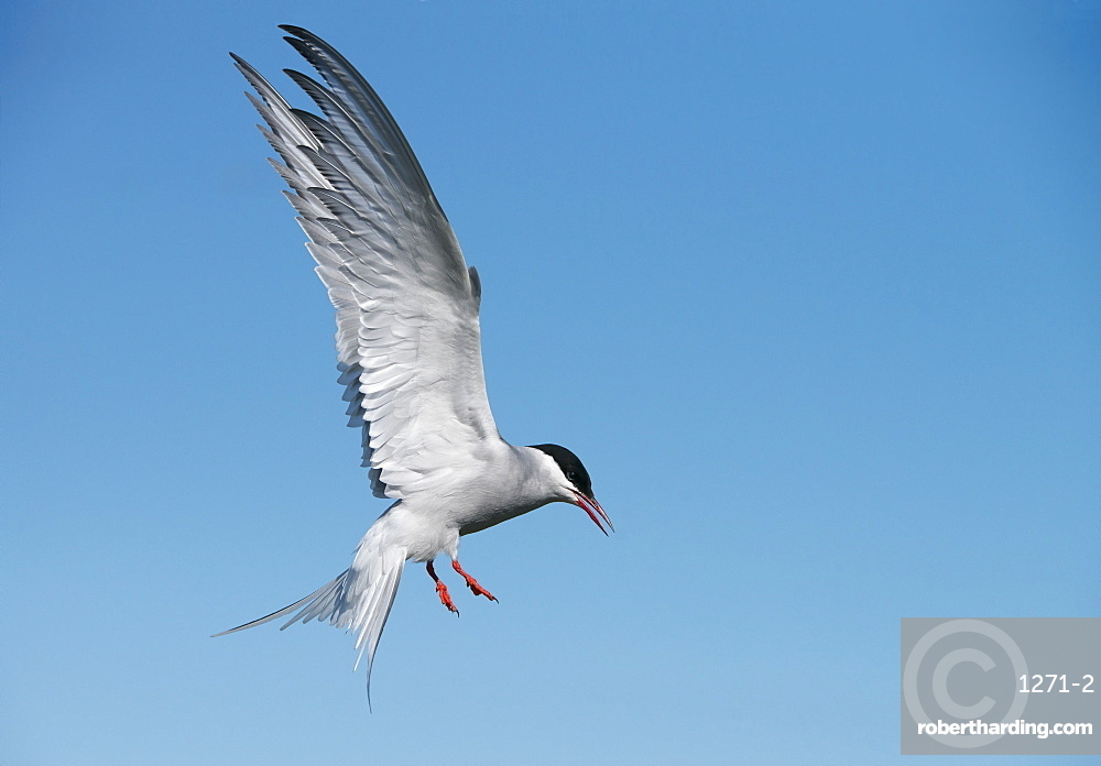 Arctic tern (Sterna paradisaea) on the Farne Islands, Northumberland, England, United Kingdom, Europe