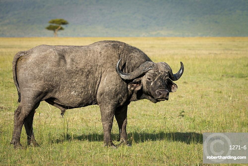 Lone male Cape buffalo (Syncerus caffer) in the Masai Mara, Kenya, East Africa, Africa