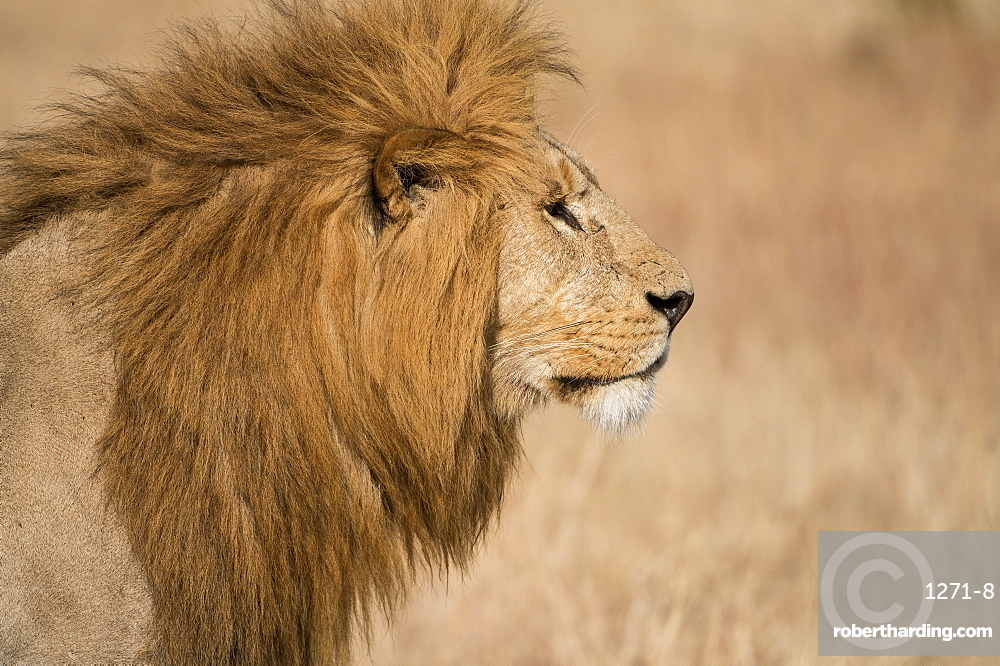 Male lion (Panthera Leo) of the Lemek pride in Lemek Conservancy, Masai Mara, Kenya, East Africa, Africa