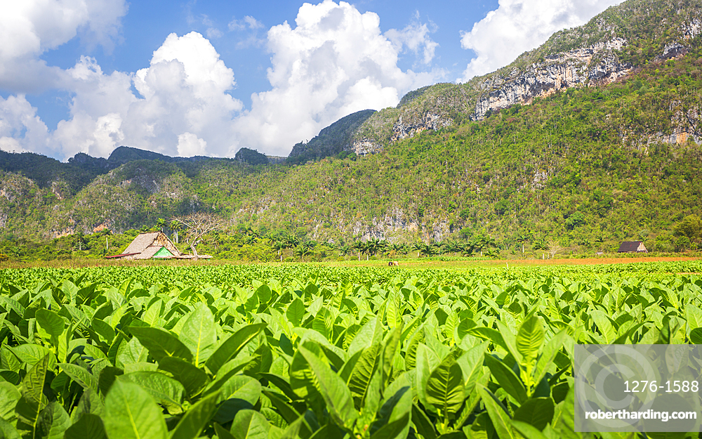 Tobacco field in Vinales National Park, UNESCO World Heritage Site, Pinar del Rio Province, Cuba, West Indies, Caribbean, Central America