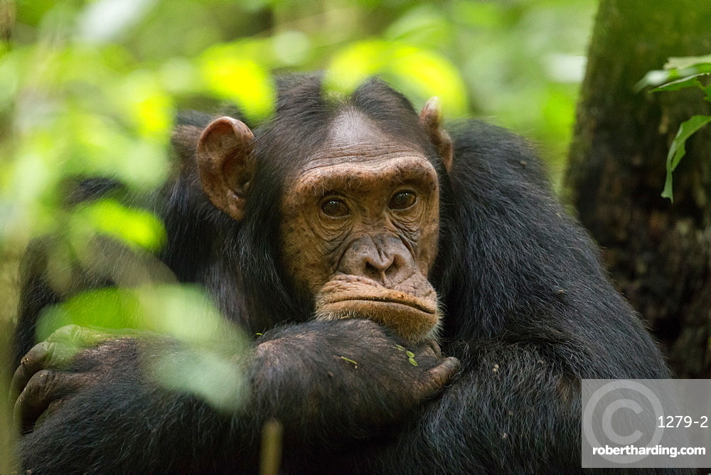 Glum looking adolescent chimpanzee at Kibale Forest National Park, Uganda