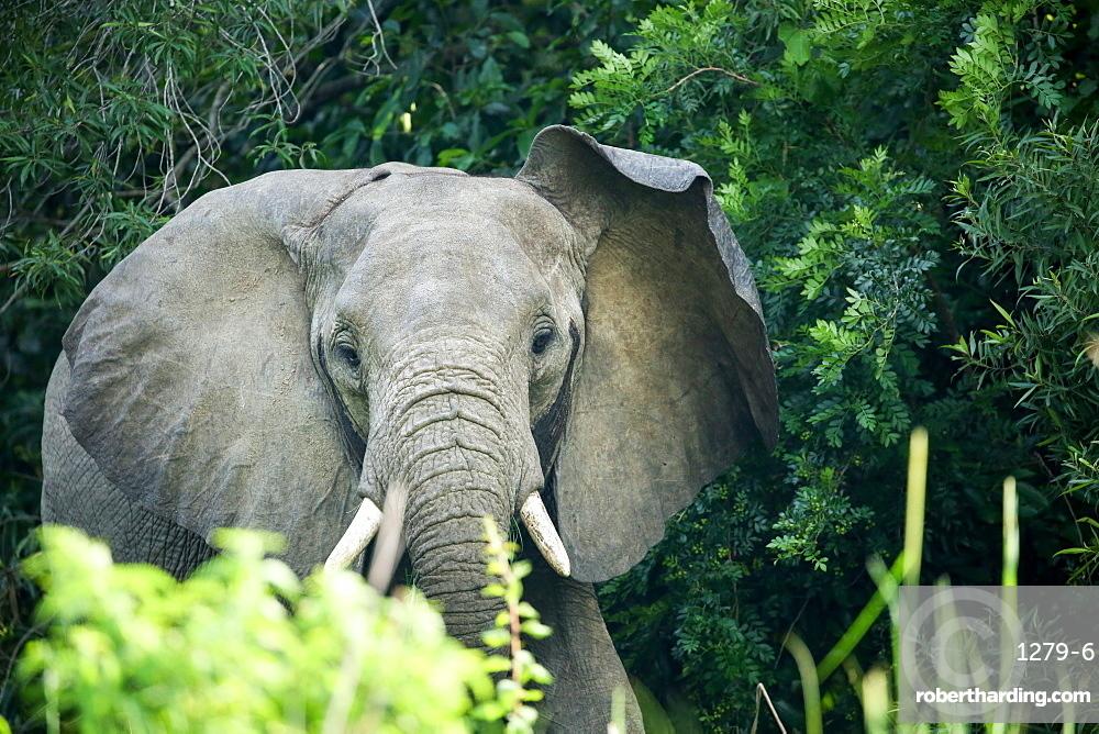 Angry elephant in Uganda's Murchison Falls National Park, Uganda, Africa