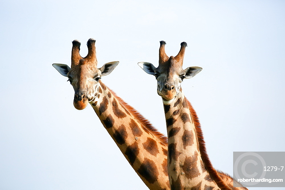 A pair of vulnerable Rothchild giraffe in Uganda's Murchison Falls National Park, Uganda, Africa
