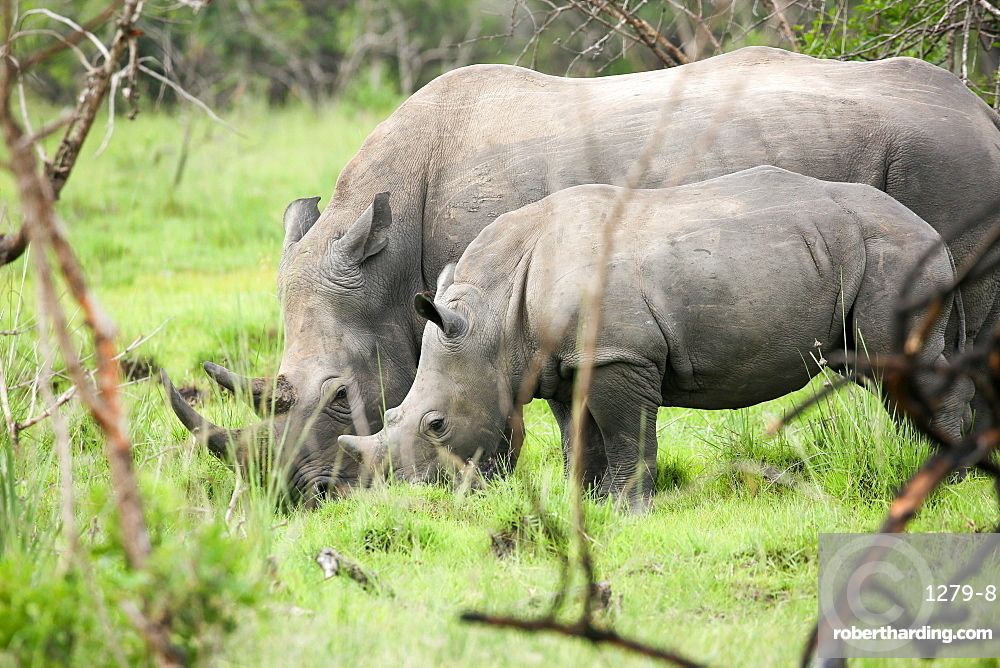 Southern white rhinos, mother and calf, at Ziwa Rhino Sanctuary, Uganda, Africa