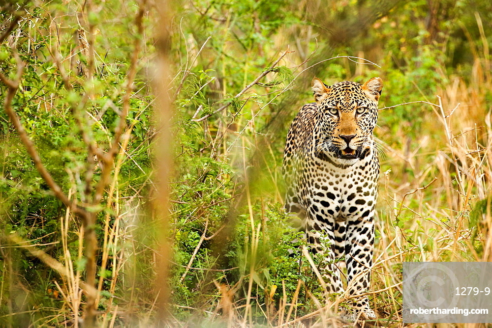 Leopard in Uganda's Murchison Falls National Park.