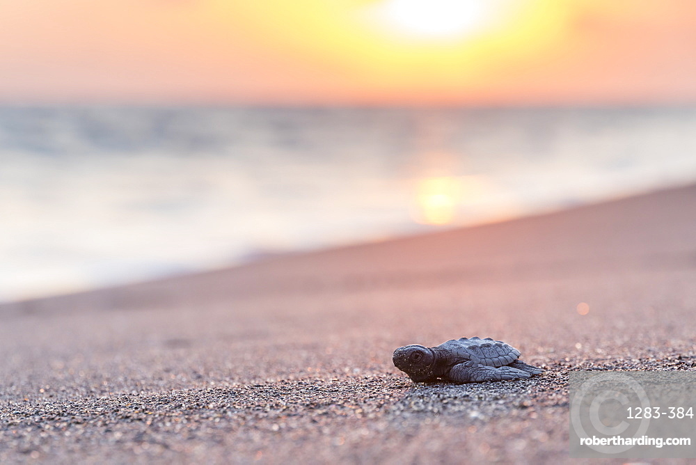 Released baby turtle from the local hatchery on its way to the ocean, Monterrico, Guatemala