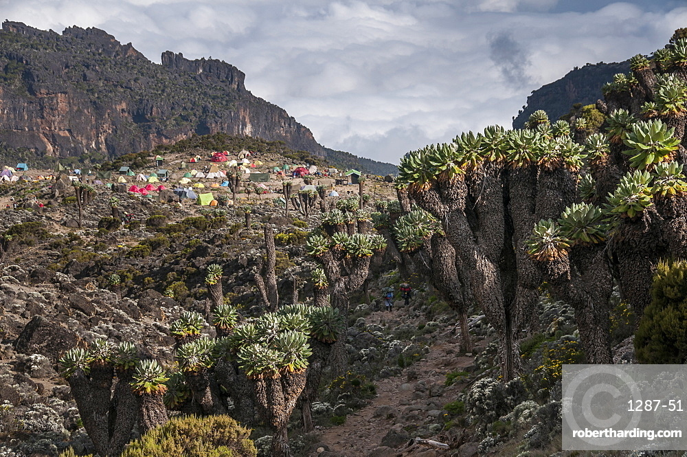 The approach to the Barranco Huts Camp, 3950m, in the Barranco Valley, rich in Senecio trees and lobelia, Mount Kilimanjaro, Tanzania, East Africa, Africa