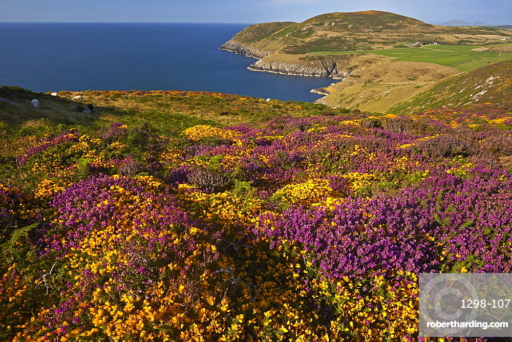 The heather and gorse covered clifftops at Mynydd Mawr, Llyn peninsula near Aberdaron, Gwynedd, Wales, United Kingdom, Europe