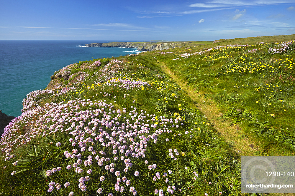 Thrift and Kidney Vetch growing by the coastal path at Carnewas near Bedruthan Steps, Cornwall, England, United Kingdom, Europe