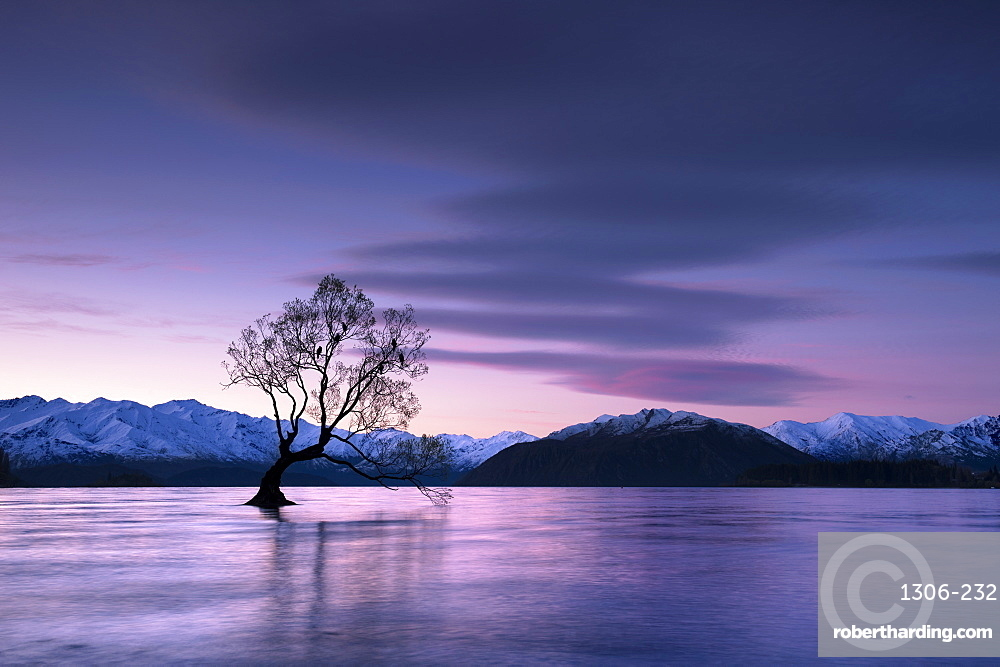 The Wanaka Tree at sunset backed by snow capped mountains, Wanaka, South Island, New Zealand