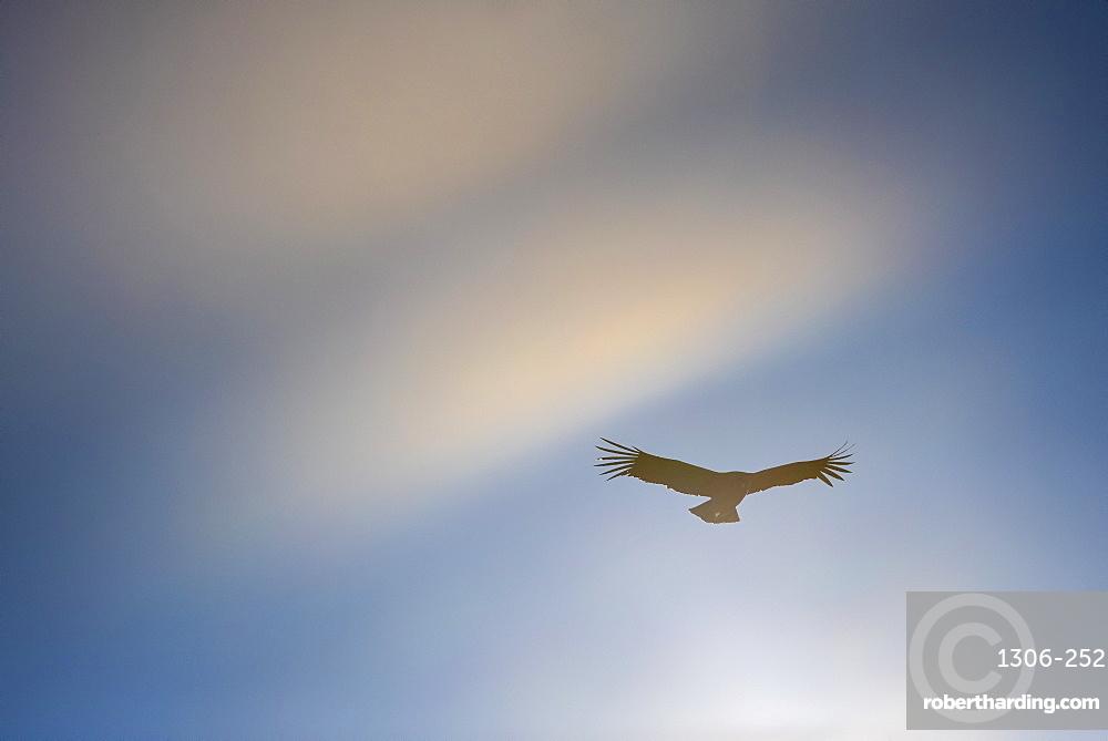 Condor in flight, Los Glaciares National Park, Santa Cruz Province, Patagonia, Argentina.