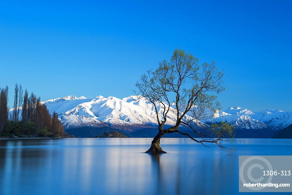 The Wanaka Tree at backed by snow capped mountains, Wanaka, South Island, New Zealand