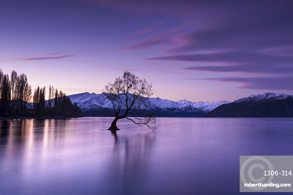 The Wanaka Tree at sunset backed by snow capped mountains, Wanaka, Otago, South Island, New Zealand, Pacific