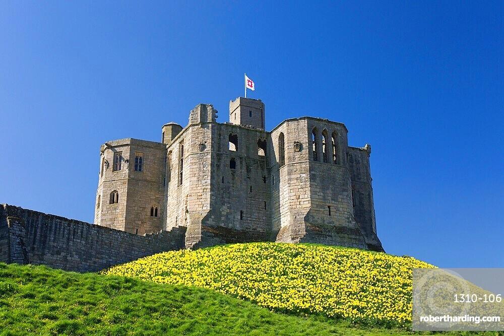 The Great Tower of Warkworth Castle, spring, carpet of golden daffodils on hillside, Warkworth, Northumberland, England, UK