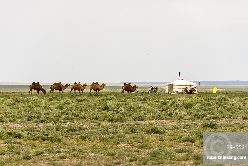 Nomadic herders' ger camp in Gobi Desert, Mongolia, Asia