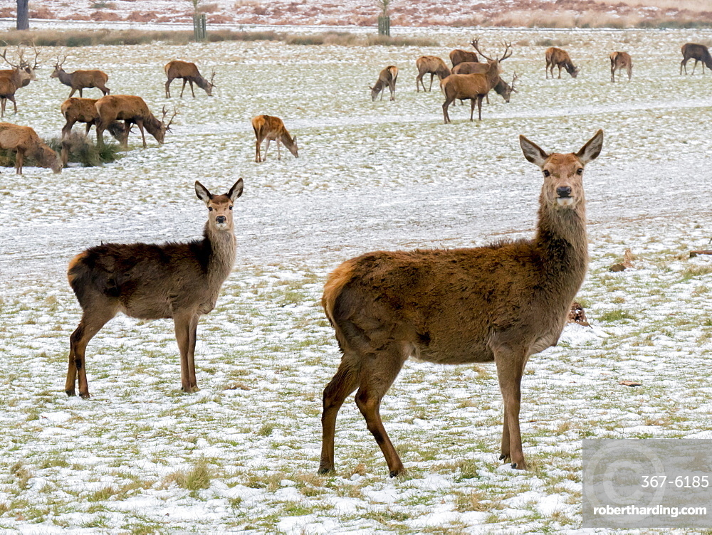 Deer in winter, Richmond Park, Richmond, London, England, United Kingdom, Europe
