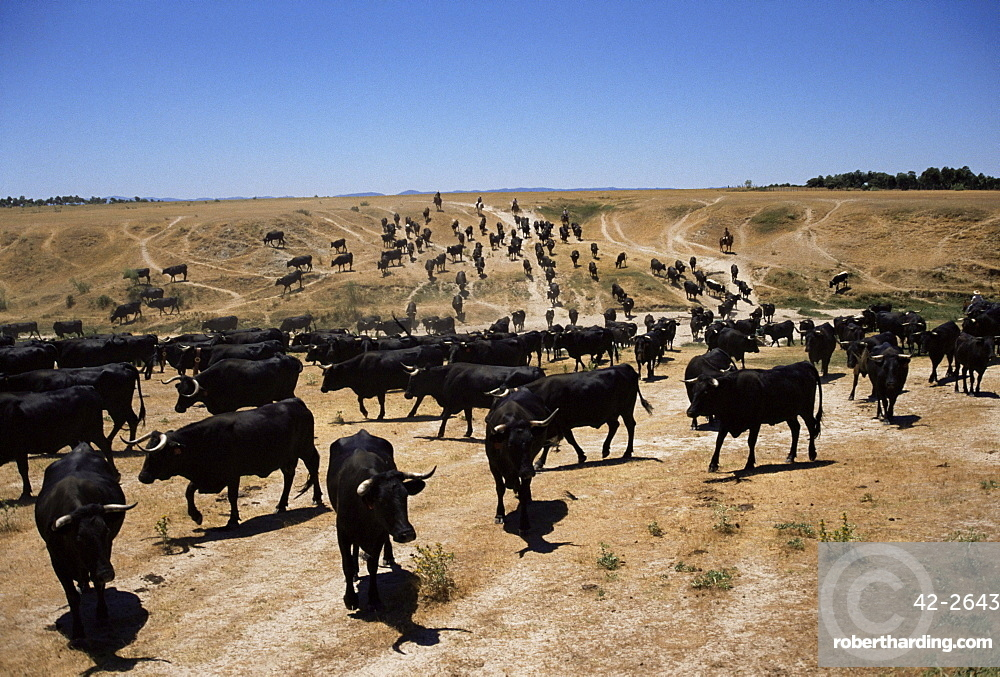 Cattle transhumance, Spain, Europe
