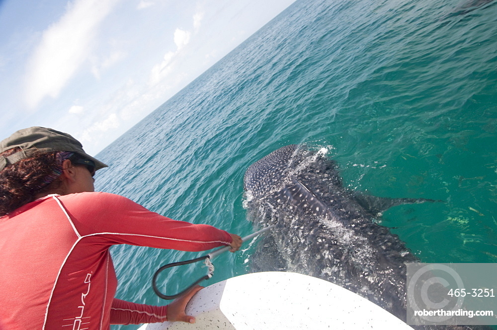 Biologist taking skin sample from a whale shark to determine what plankton types the animal has been feeding on, Yum Balam Marine Protected Area, Quintana Roo, Mexico, North America