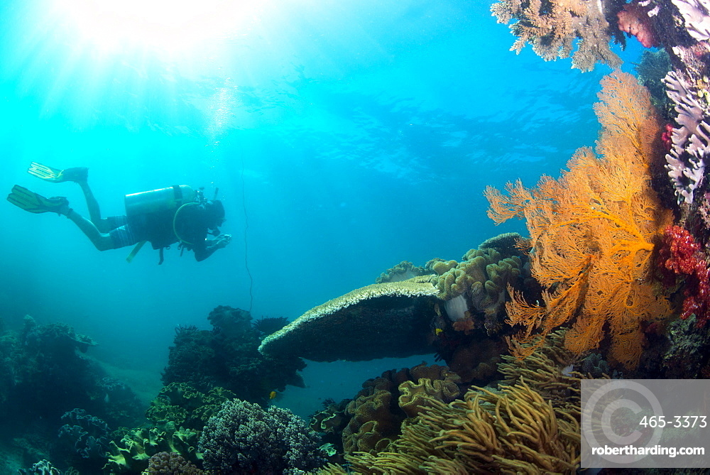 Scuba diver swimming with Gopro in coral landscape scenic at Thetford Reef on the Great Barrier Reef, UNESCO World Heritage Site, Cairns, Queensland, Australia, Pacific