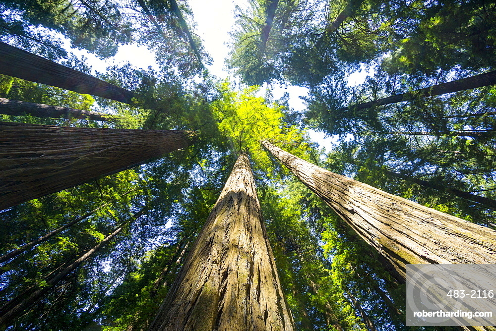 Redwood State Park, UNESCO World Heritage Site, California, United States of America, North America
