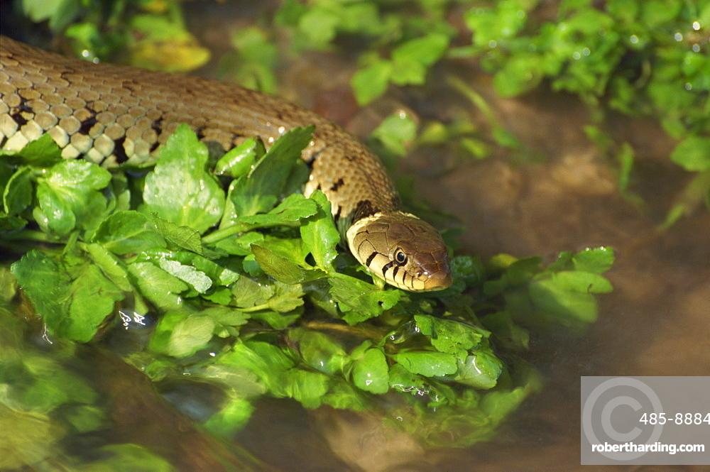 Grass snake in stream, Warwickshire, England, United Kingdom, Europe