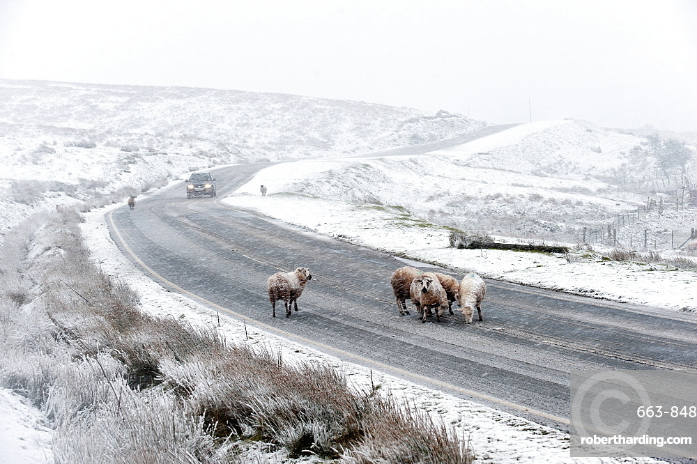 Sheep in a wintry landscape on the Mynydd Epynt moorland, Powys, Wales, United Kingdom, Europe