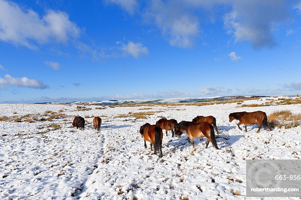 Ponies forage for food in the snow on the Mynydd Epynt moorland, Powys, Wales, United Kingdom, Europe