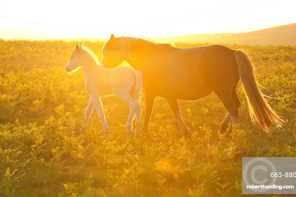 Welsh ponies and foals on the Mynydd Epynt moorland, Powys, Wales, United Kingdom, Europe