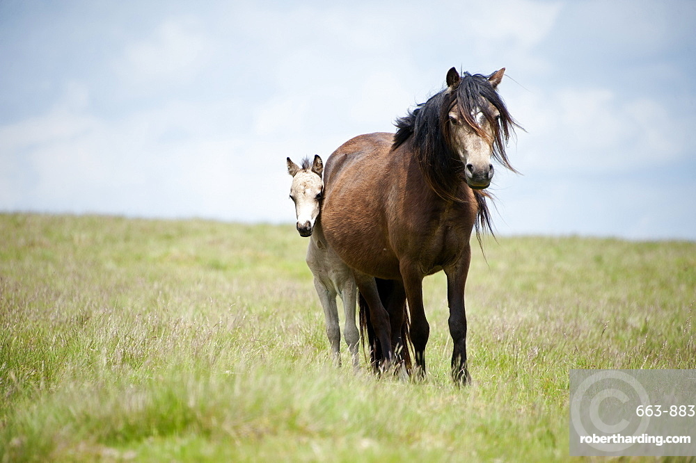 Welsh ponies and foals on the Mynydd Epynt moorland, Powys, Wales, United Kingdom, Europe