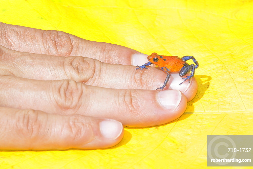 Blue jeans dart frog (Dendrobates pumilio) on human hand, Costa Rica, Central America