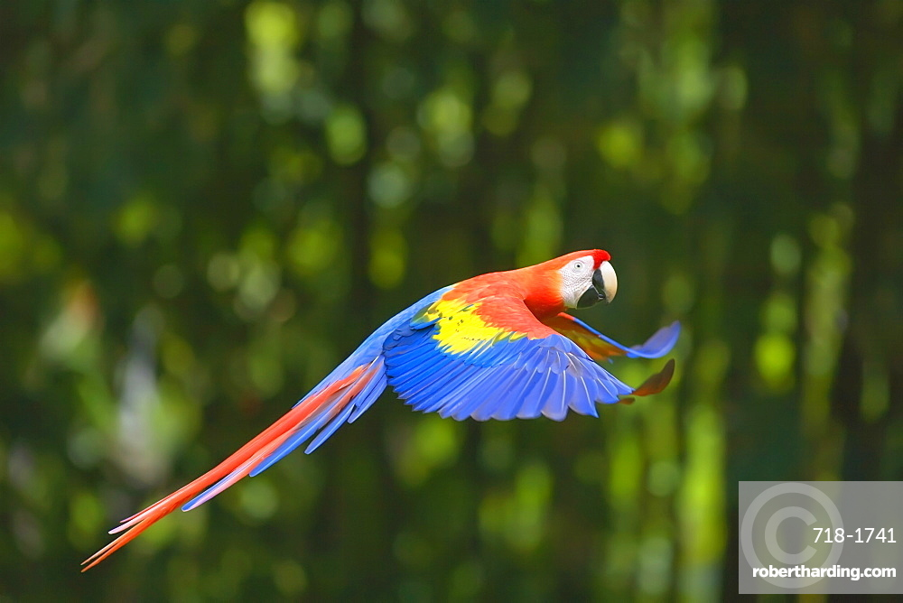 Scarlet macaw (Ara macao) in flight, Corcovado National Park, Osa Peninsula, Costa Rica, Central America
