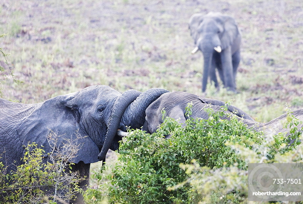 Ritual greeting of African elephant  (Loxodonta africana), Queen Elizabeth National Park, Uganda, Africa