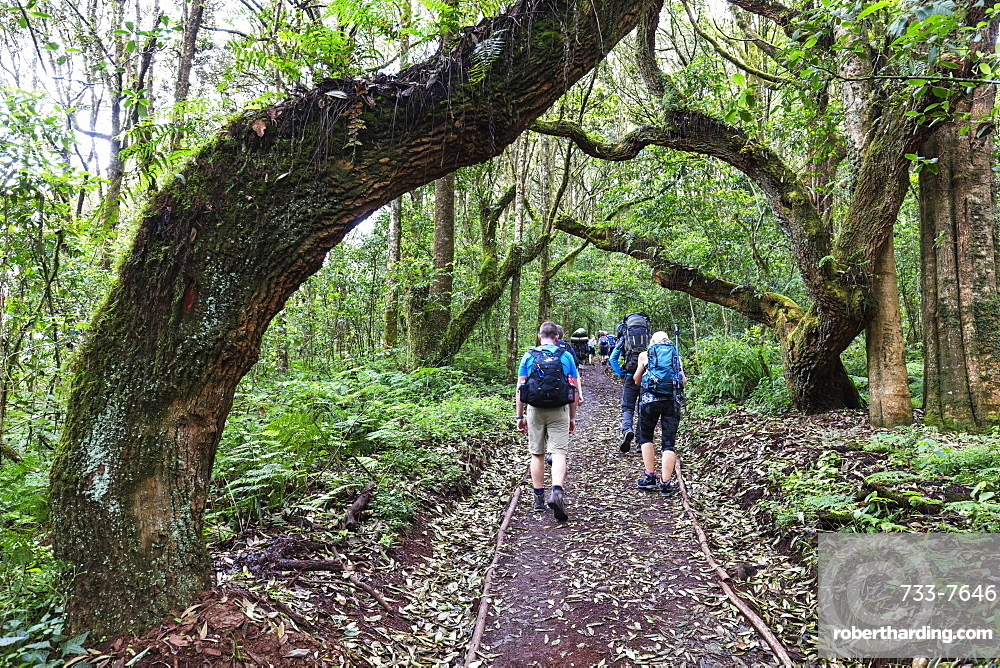 East Africa, Tanzania, Kilimanjaro National Park, Unesco World Heritage site, hikers in the rain forest