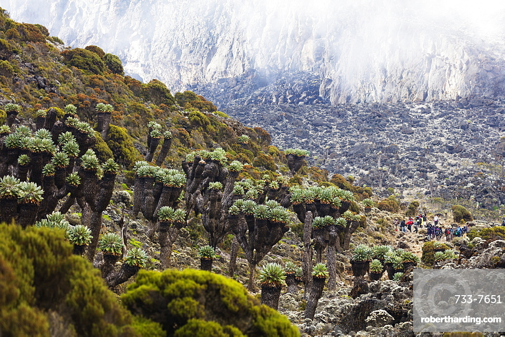 Lobelia morogoroensis plants and hikers on a trail, Kilimanjaro National Park, UNESCO World Heritage Site, Tanzania, East Africa, Africa