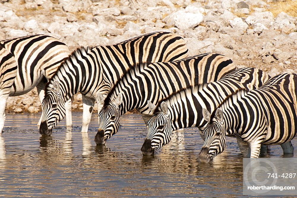Burchell's zebra (Equus burchellii), Etosha National Park, Namibia, Africa