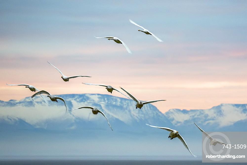 Whooper swans (Cygnus cygnus), flying at sunset, Caerlaverock Wildfowl and Wetland Trust, Dumfries and Galloway, Scotland, United Kingdom, Europe
