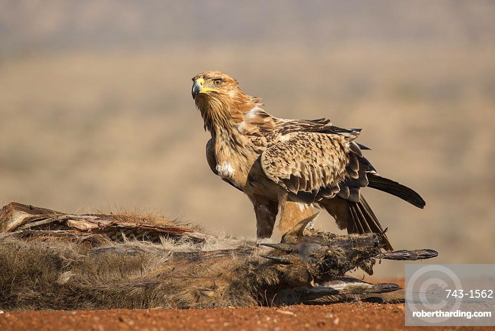 Tawny eagle (Aquila rapax) scavenging, Zimanga private game reserve, KwaZulu-Natal, South Africa, June 2017