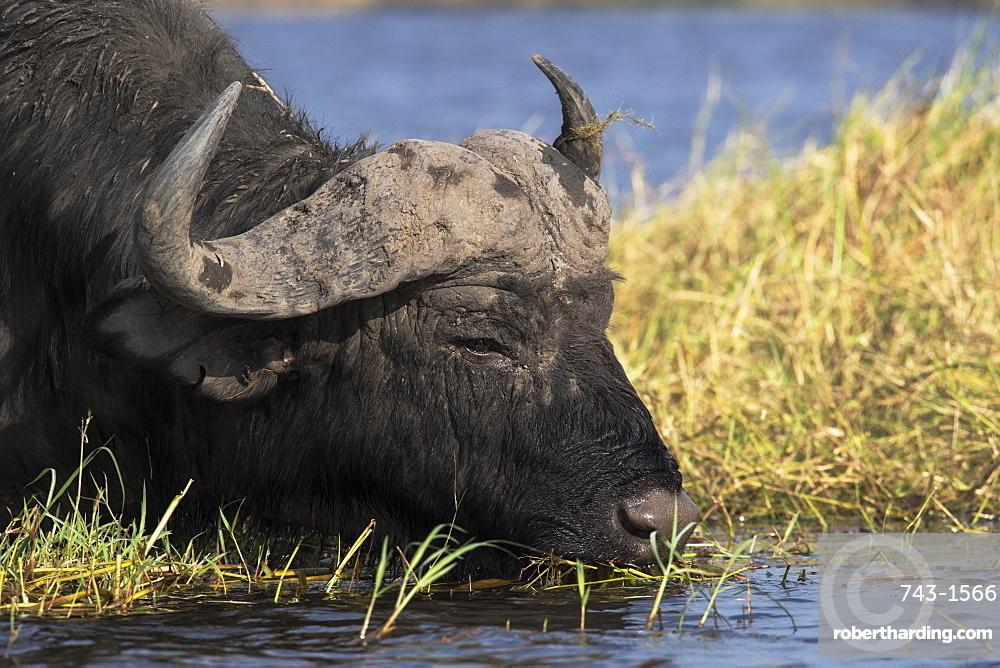 Cape buffalo (Syncerus caffer), Chobe River, Botswana, Africa