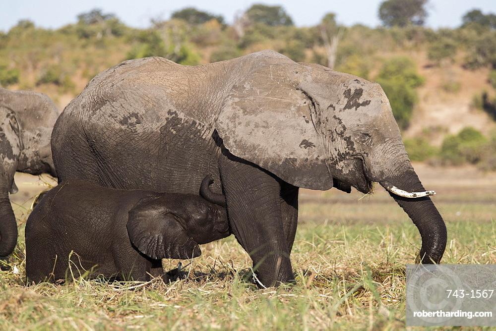 Elephant (Loxodonta africana) suckling, Chobe national park, Botswana, June 2017
