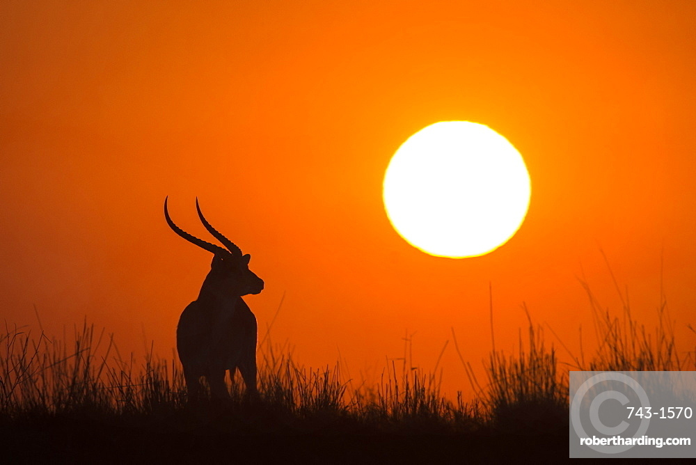 Red lechwe (Kobus lechwe) male at sunset, Chobe National Park, Botswana, Africa