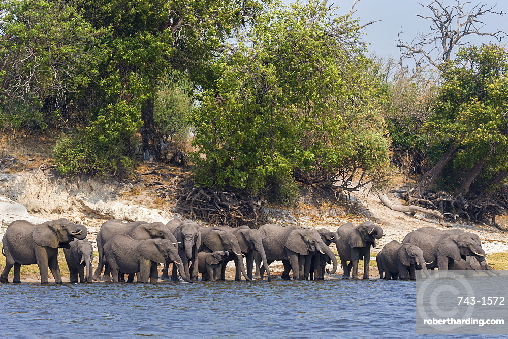 African elephants (Loxodonta africana) drinking at river, Chobe River, Botswana, Africa