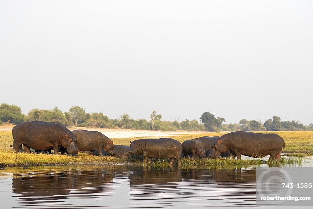 Hippos (Hippopotamus amphibius), Chobe River, Botswana, Africa