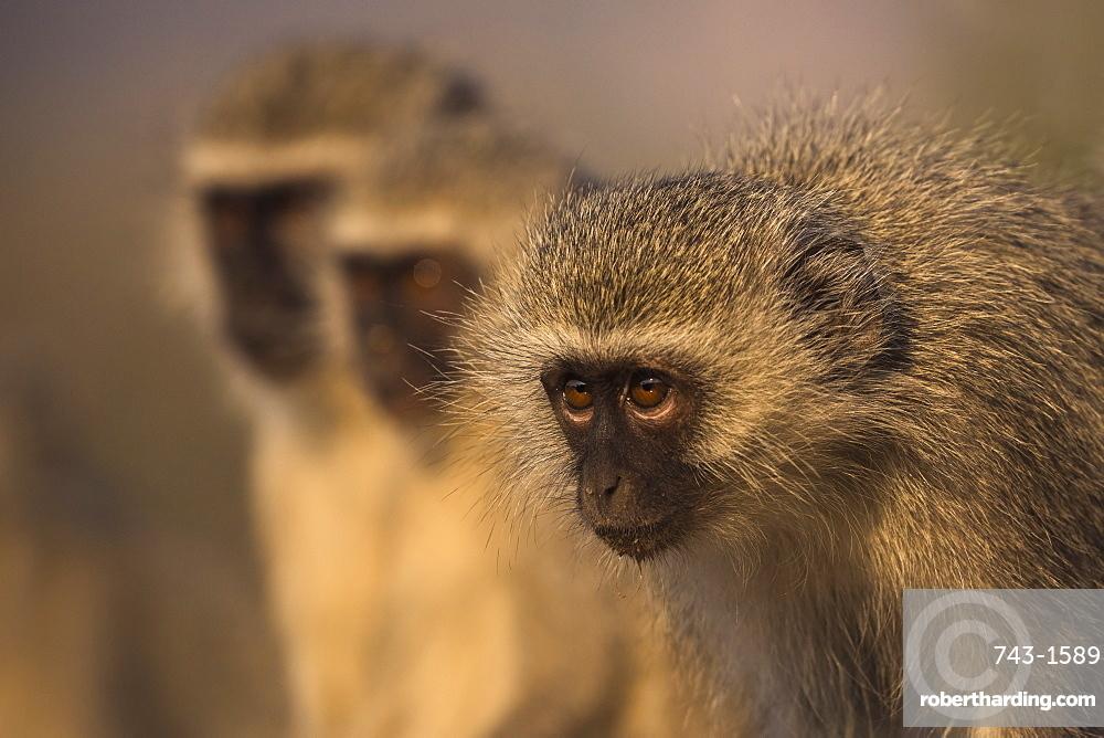 Vervet monkeys (Chlorocebus pygerythrus, Zimanga game reserve, KwaZulu-Natal, South Africa, September 2017