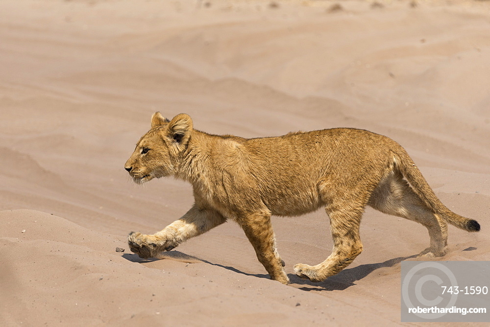 Lion (Panthera leo) cub, Chobe National Park, Botswana, Africa