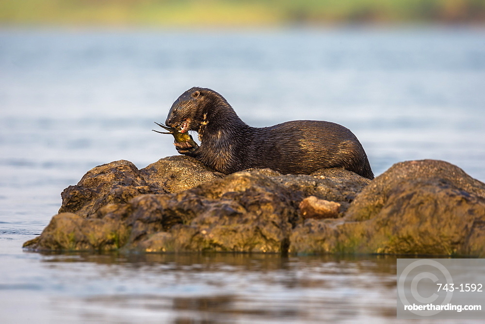 Spotted necked otter (Hydrictis maculicollis) eating leopard squeaker fish, Chobe River, Botswana, Africa, September 2017