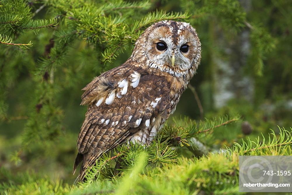 Tawny owl (Strix aluco), captive, Cumbria, UK, August 2017