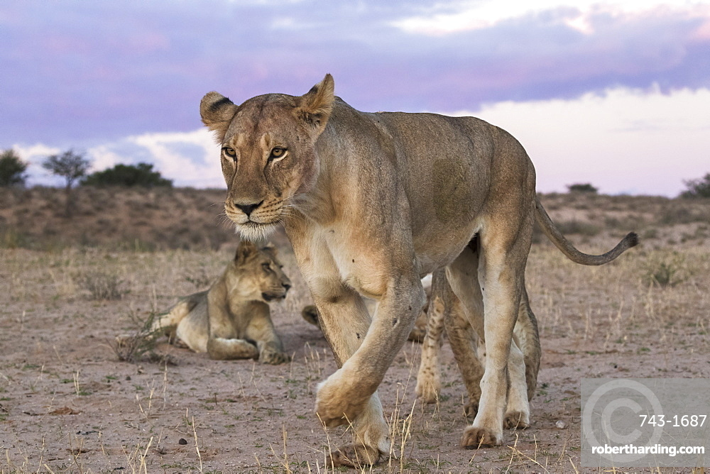 Lions (Panthera leo), Kgalagadi Transfrontier Park, South Africa, Africa