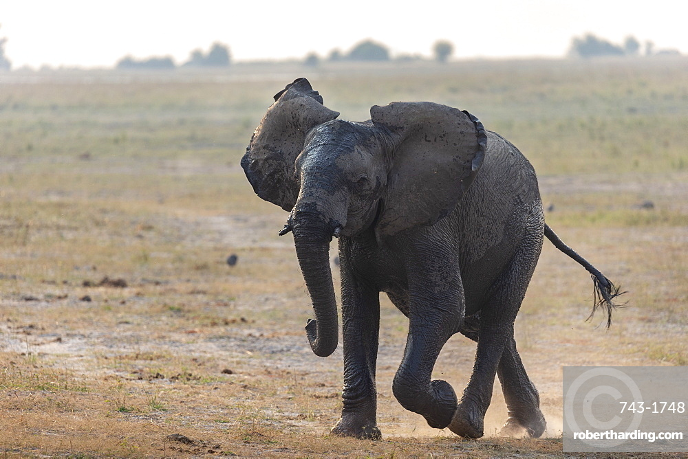 African elephant, Loxodonta africana, running, Chobe river, Botswana, Southern Africa