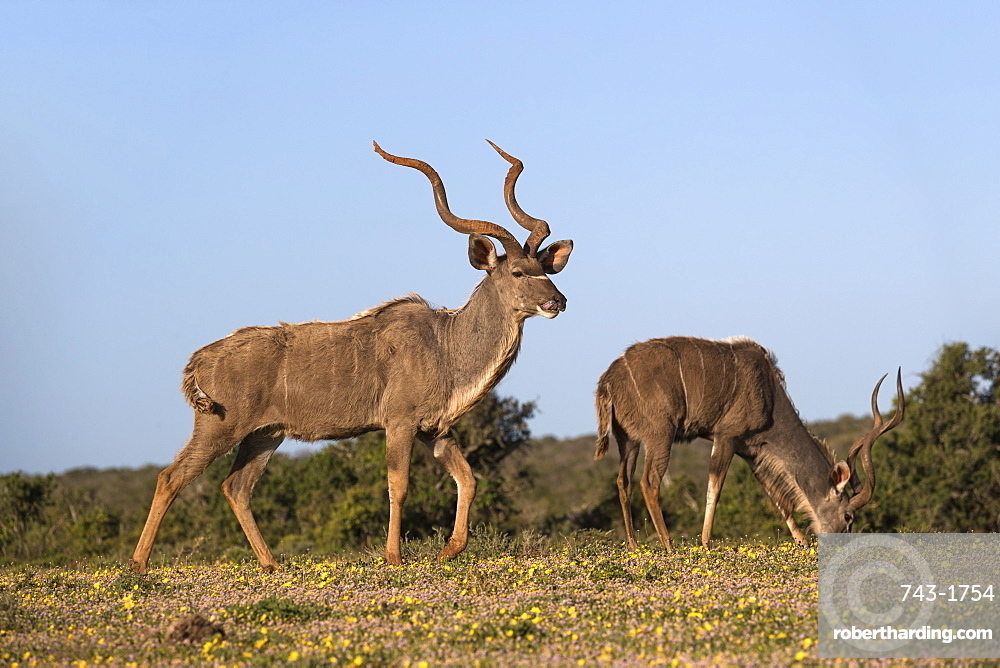 Greater kudu, Tragelaphus strepsiceros, among spring flowers, Addo Elephant national park, Eastern Cape, South Africa